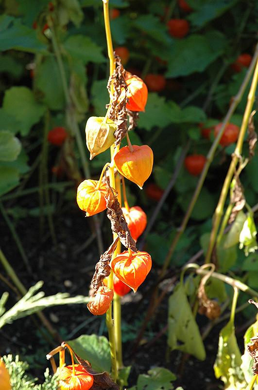 Fruit Flower Baskets Edmonton : Chinese lantern physalis alkekengi in edmonton spruce