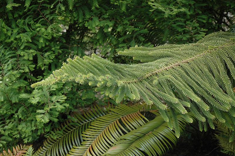 Norfolk Pine Christmas Tree