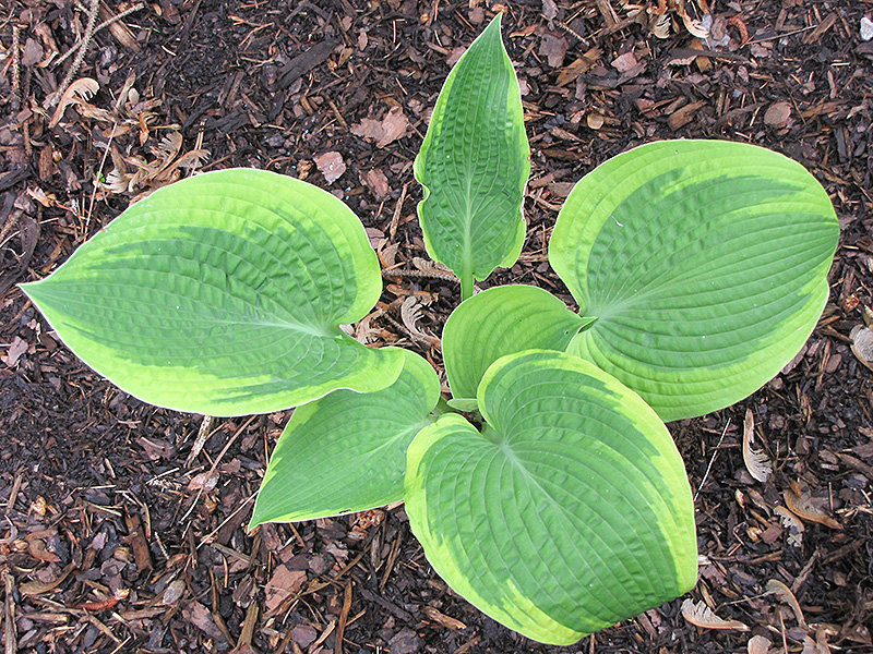 Christmas Tree Hosta (Hosta 'Christmas Tree') in Edmonton Spruce ...