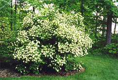 Arrowwood (Viburnum dentatum) at Creekside Home & Garden