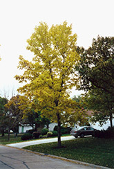 Northern Treasure Hybrid Ash (Fraxinus 'Northern Treasure') at Creekside Home & Garden