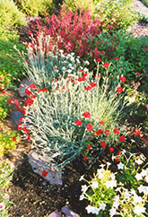 Grenadin Red Carnation (Dianthus caryophyllus 'Grenadin Red') at Creekside Home & Garden