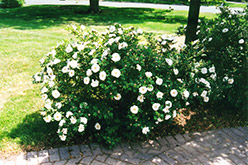 Henry Hudson Rose (Rosa 'Henry Hudson') at Creekside Home & Garden
