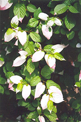 Arctic Beauty Kiwi (Actinidia kolomikta 'Arctic Beauty') at Creekside Home & Garden