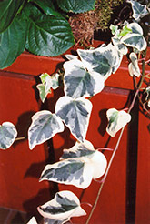 Variegated English Ivy (Hedera helix 'Variegata') at Creekside Home & Garden