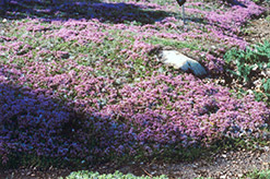 Mother-of-Thyme (Thymus praecox) at Creekside Home & Garden