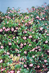 Vancouver Jade Bearberry (Arctostaphylos uva-ursi 'Vancouver Jade') at Creekside Home & Garden