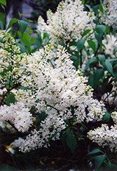 Mount Baker Lilac (Syringa x hyacinthiflora 'Mount Baker') at Creekside Home & Garden