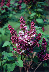Belle de Nancy Lilac (Syringa vulgaris 'Belle de Nancy') at Creekside Home & Garden