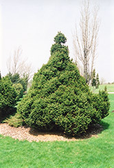 Ohlendorf Spruce (Picea abies 'Ohlendorfii') at Creekside Home & Garden