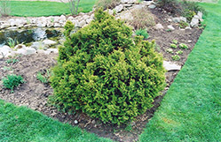 Sherwood Frost Arborvitae (Thuja occidentalis 'Sherwood Frost') at Creekside Home & Garden