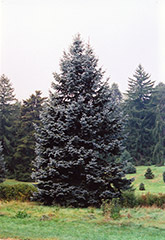 Hoopsii Blue Spruce (Picea pungens 'Hoopsii') at Creekside Home & Garden