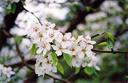 Ussurian Pear (Pyrus ussuriensis) at Creekside Home & Garden