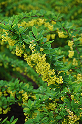 Emerald Carousel Barberry (Berberis 'Tara') at Creekside Home & Garden
