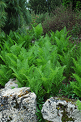 Ostrich Fern (Matteuccia struthiopteris) at Creekside Home & Garden