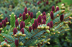 Red Cone Spruce (Picea abies 'Acrocona') at Creekside Home & Garden
