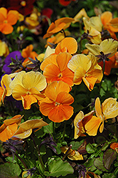 Penny Orange Pansy (Viola cornuta 'Penny Orange') at Creekside Home & Garden