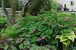 Common Bleeding Heart (Dicentra spectabilis) at Creekside Home & Garden