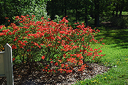Mandarin Lights Azalea (Rhododendron 'Mandarin Lights') at Creekside Home & Garden
