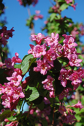Centennial Weigela (Weigela florida 'Centennial') at Creekside Home & Garden