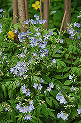 Creeping Jacob's Ladder (Polemonium reptans) at Creekside Home & Garden