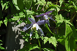 Blue Bird Clematis (Clematis macropetala 'Blue Bird') at Creekside Home & Garden