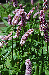 Pink Snakeweed (Persicaria bistorta 'Superba') at Creekside Home & Garden