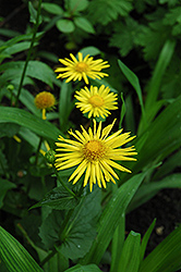 Leopard's Bane (Doronicum orientale) at Creekside Home & Garden