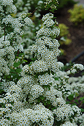 Fairy Queen Spirea (Spiraea trilobata 'Fairy Queen') at Creekside Home & Garden