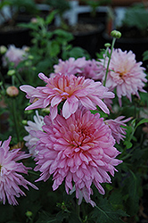 Morden Candy Chrysanthemum (Chrysanthemum 'Morden Candy') at Creekside Home & Garden
