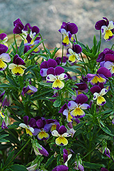 Johnny Jump-Up (Viola tricolor) at Creekside Home & Garden