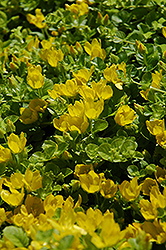 Creeping Jenny (Lysimachia nummularia) at Creekside Home & Garden