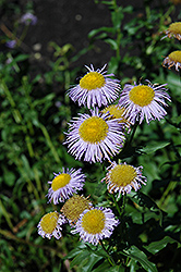 Blue Beauty Fleabane (Erigeron 'Blue Beauty') at Creekside Home & Garden