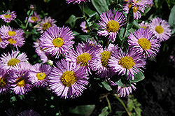 Pink Jewel Fleabane (Erigeron 'Pink Jewel') at Creekside Home & Garden
