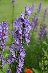 Common Monkshood (Aconitum napellus) at Creekside Home & Garden