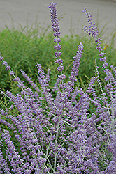 Russian Sage (Perovskia atriplicifolia) at Creekside Home & Garden