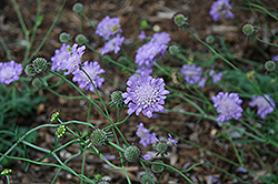 Butterfly Blue Pincushion Flower (Scabiosa 'Butterfly Blue') at Creekside Home & Garden