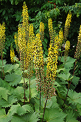 The Rocket Rayflower (Ligularia 'The Rocket') at Creekside Home & Garden