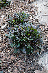 Chocolate Chip Bugleweed (Ajuga reptans 'Chocolate Chip') at Creekside Home & Garden