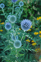 Globe Thistle (Echinops ritro) at Creekside Home & Garden