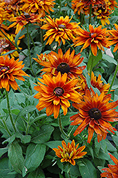 Cherokee Sunset Coneflower (Rudbeckia hirta 'Cherokee Sunset') at Creekside Home & Garden