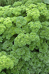 Parsley (Petroselinum crispum) at Creekside Home & Garden