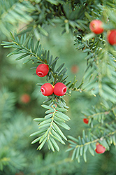 Japanese Yew (Taxus cuspidata) at Creekside Home & Garden