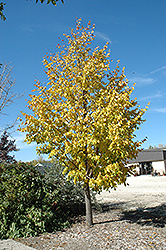 Harvest Gold Mongolian Linden (Tilia mongolica 'Harvest Gold') at Creekside Home & Garden