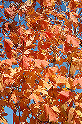 Unity Sugar Maple (Acer saccharum 'Unity') at Creekside Home & Garden