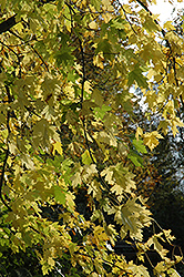 Silver Maple (Acer saccharinum) at Creekside Home & Garden