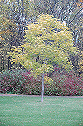 Kentucky Coffeetree (Gymnocladus dioicus) at Creekside Home & Garden