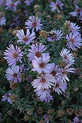 Woods Blue Aster (Aster 'Woods Blue') at Creekside Home & Garden
