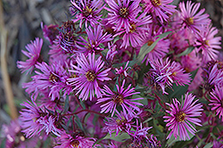 Woods Pink Aster (Aster 'Woods Pink') at Creekside Home & Garden