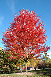 Autumn Blaze Maple (Acer x freemanii 'Jeffersred') at Creekside Home & Garden